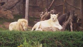 Mannelijke en vrouwelijke witte leeuw De witte leeuwen zijn een kleurenverandering van de leeuw van Transvaal, Panthera-leokruger stock video