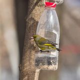 Mannelijke Europese Greenfinch, Carduelis-chloris, close-upportret bij vogelvoeder maakte van plastic fles, selectieve ondiepe na stock afbeeldingen
