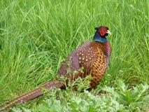 Mannelijke fazant tijdens bronst Stock Afbeeldingen
