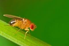 Mannelijke fruitvlieg op een grassprietje macro Stock Fotografie