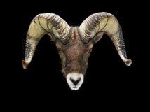 Mannelijke geïsoleerde schapen Bighorn het bekijken camera Stock Afbeeldingen