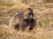 Mannelijke Gelada-baviaan, Theropithecus-gelada, in Ethiopië Stock Fotografie