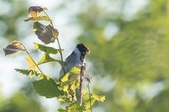 Mannelijke gemeenschappelijk rietbunting schoeniclus van Emberiza heeft voedsel voor kuiken stock fotografie