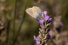 Mannelijke Gemeenschappelijke blauw/de vlinderonderkant van Polyommatus Icarus Royalty-vrije Stock Afbeeldingen