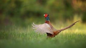 Mannelijke gemeenschappelijke fazant, de haan van phasianuscolchicus het pronken met stock foto