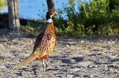 Mannelijke gemeenschappelijke fazant, phasianuscolchicus Royalty-vrije Stock Foto
