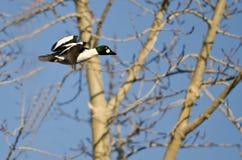 Mannelijke Gemeenschappelijke Goldeneye die onder de Bomen vliegen stock afbeeldingen