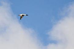 Mannelijke Gemeenschappelijke Zaagbek die in Bewolkte Hemel vliegen royalty-vrije stock afbeeldingen