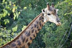 Mannelijke giraf stock foto