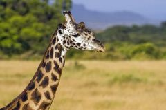 Mannelijke giraf die de savanne kruisen stock foto's