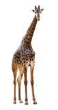 Mannelijke giraf die op witte achtergrond wordt geïsoleerd royalty-vrije stock foto