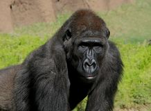 Mannelijke gorila stock foto's