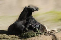 Mannelijke Gorilla Stock Afbeelding