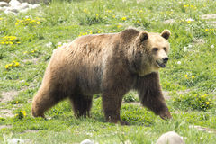 Mannelijke Grizzly Royalty-vrije Stock Fotografie