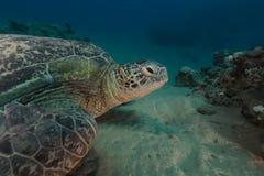 Mannelijke groene schildpad en pyama chromodorid in het Rode Overzees stock fotografie