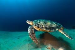 Mannelijke groene schildpad in het Rode Overzees stock afbeeldingen