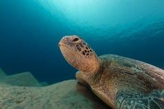 Mannelijke groene schildpad in het Rode Overzees royalty-vrije stock foto