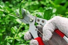 Mannelijke Hand die de Boom met het Snoeien van Scharen snoeien Het leven Takcu stock fotografie