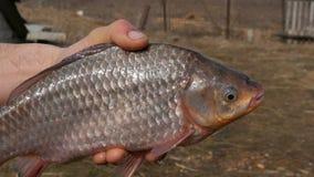 Mannelijke hand die een grote vis houden die lucht hijgt Zoetwatervissenmond ademhaling stock video