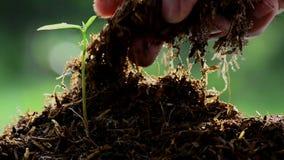Mannelijke hand die landbouwbedrijfmest houden aan jonge boom stock video