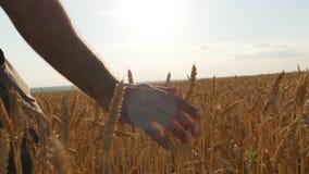 Mannelijke hand die zich over tarwe het groeien op het gebied bewegen Gebied van rijpe korrel en mensen` s hand wat betreft tarwe stock video