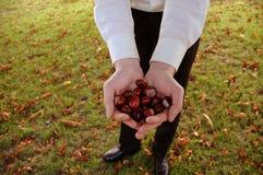 Mannelijke handen die kastanjes houden Royalty-vrije Stock Foto