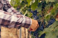 Mannelijke handen met tuinsnoeischaar bij oogst royalty-vrije stock afbeelding