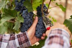 Mannelijke handen tijdens de oogst van de druiven stock foto's