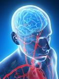 Mannelijke hersenen royalty-vrije illustratie