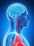 Mannelijke hersenen vector illustratie