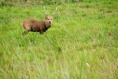 Mannelijke herten in het nationale park van Thailand Stock Afbeelding
