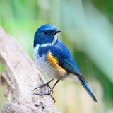 Mannelijke Himalayan Bluetail Royalty-vrije Stock Fotografie