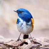Mannelijke Himalayan Bluetail Stock Foto