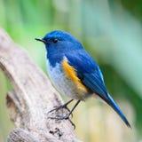 Mannelijke Himalayan Bluetail Royalty-vrije Stock Afbeeldingen