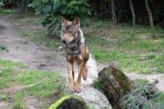 Mannelijke Iberische wolf stock fotografie