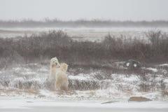 Mannelijke Ijsberen die terwijl Onechte Sparring bevinden zich Stock Foto