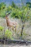 Mannelijke impala in de wildernis royalty-vrije stock fotografie