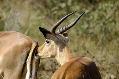Mannelijke impala in de wildernis royalty-vrije stock foto