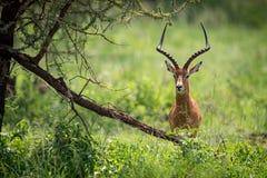 Mannelijke impala die camerahuiden achter boom onder ogen zien Stock Foto