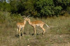 Mannelijke impala's in de wildernis stock foto