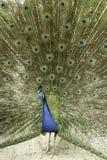 Mannelijke Indische pauw Royalty-vrije Stock Foto's