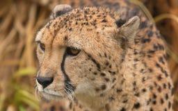 Mannelijke Jachtluipaard Stock Foto