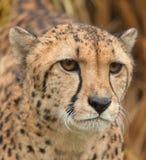 Mannelijke Jachtluipaard Royalty-vrije Stock Fotografie