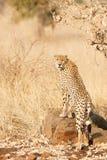 Mannelijke Jachtluipaard Royalty-vrije Stock Afbeelding