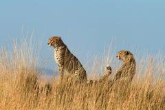Mannelijke jachtluipaard in Masai Mara Stock Afbeeldingen