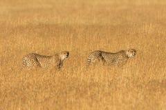 Mannelijke jachtluipaard in Masai Mara Royalty-vrije Stock Afbeeldingen