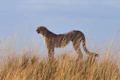 Mannelijke jachtluipaarden in Masai Mara Stock Afbeelding