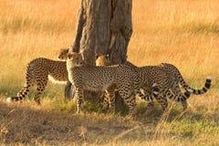 Mannelijke jachtluipaarden in Masai Mara Stock Afbeeldingen