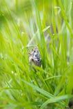 Mannelijke junikever in het hoge gras Stock Afbeeldingen