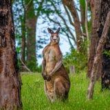 Mannelijke kangoeroe in het bos stock afbeelding
